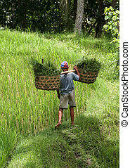 Cultivation of rice - The man with the baskets filled with a...