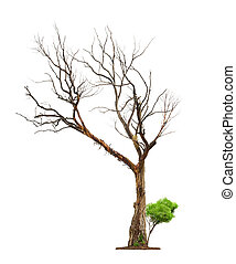 Old tree on white background.Concept death and life revival....