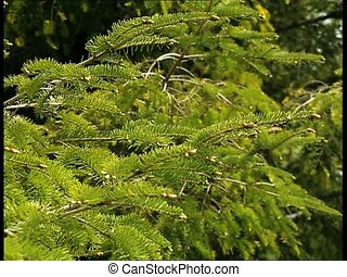WOODS fir tree branches pan - Fir tree branches, panoramic...