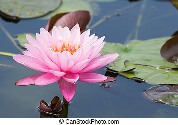 Pink lotus blossoms or water lily flowers blooming on pond -...