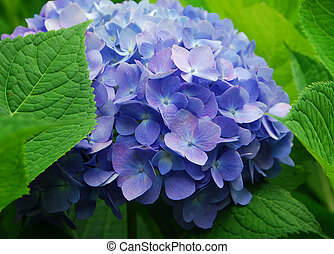 Blue Hydrangea Hortensia flower in bloom in spring