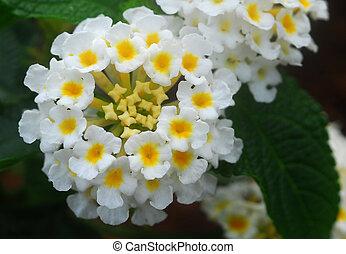 blanco, lantana, flor