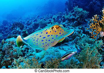 Bluespotted ray swim - Bluespotted ribbontail ray (Taeniura...