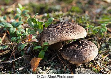 Sarcodon imbricatus shingled hedgehog, scaly hedgehog...