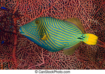 Orangelined triggerfish (Balistapus undulatus) on the...
