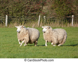 Two Romney Sheep Running