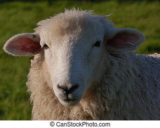 Face of  a Romney Ewe