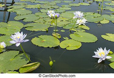 Blue,purple lotus In ponds with leaf green. - Blue,purple...