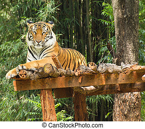 Tiger relaxing action in nature