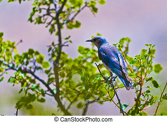 Mountain Bluebird - Cute little Bluebird perched on the tree...