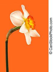 jonquil flower - white and yellow Jonquil flower on orange...