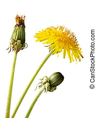 dandelion flower, isolated on white - three stage of growing...