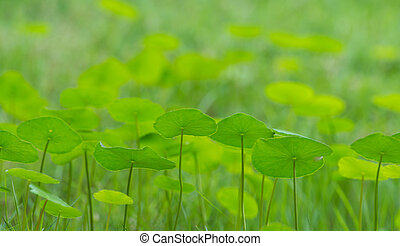 Green money plant leaves - Green money plant with lawn in...