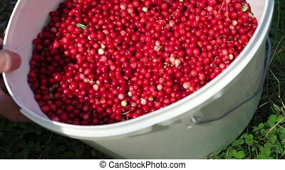 bucket of cowberry - Full bucket of a red cowberry
