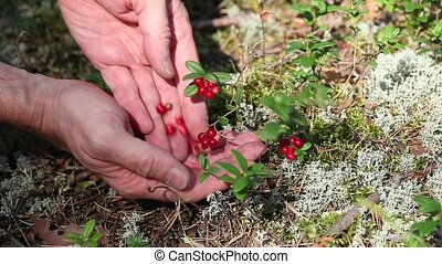handful of cowberry - Fresh wild berries in nature
