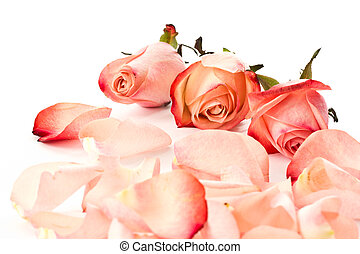 rose petals - a lot of pink rose petals on white background