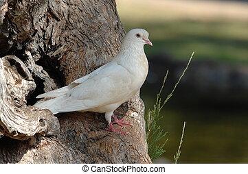 White Dove. - White peace dove.