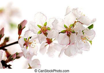 Pink cherry blossom - Macro of pink cherry blossoms isolated...