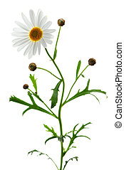 Daisy on white background - Daisy plant with a flower...