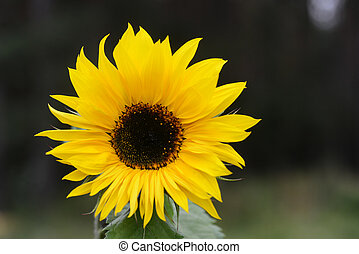 beautiful sunflowers - Big beautiful sunflowers growing in...