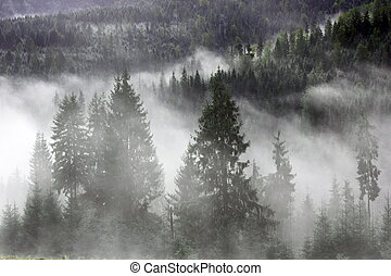 spruces in the mist - mountain forest covered by the morning...