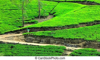 Sri Lanka tea garden mountains
