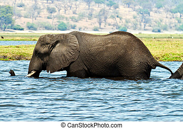 Elephant in water - An elephant walking through the River...