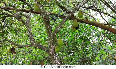 jackfruit on tree in nature