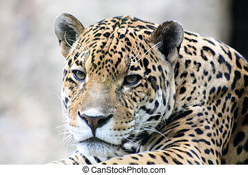 Leopard - Close-up of nice spotty leopard muzzle with white...