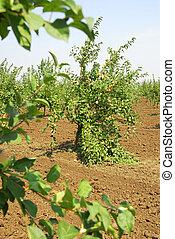 Fruit garden 2 - Road with apples trees Garden in Russian...
