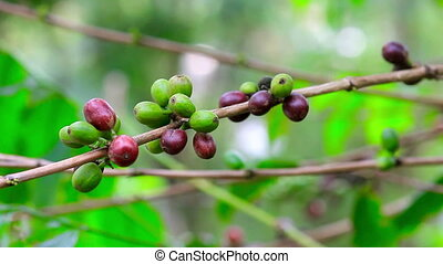 fresh coffee seeds on tree