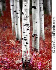 Aspen Birch Trees in Fall
