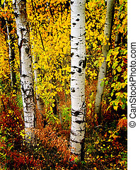 Fall Aspen Birch Leaves - Detail of several aspen birch...