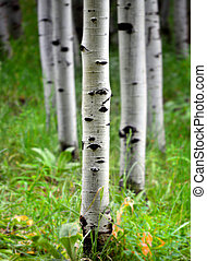 Aspen Birch Trees in Summer - Detail of several aspen birch...