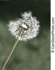 Dandylion Weeds - Dandylion weeds in a yard or field
