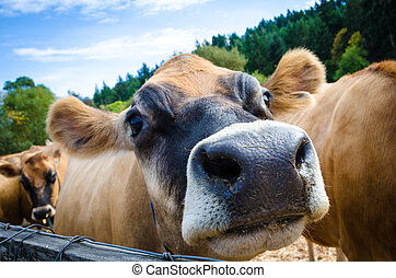 Close up of a brown Jersey cow on a farm