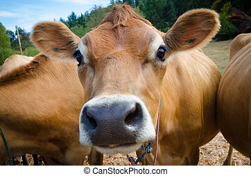 Close up of a brown Jersey cow on a sunny day on a organic...