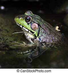 Green Frog - A Green Water Frog ,Close Up