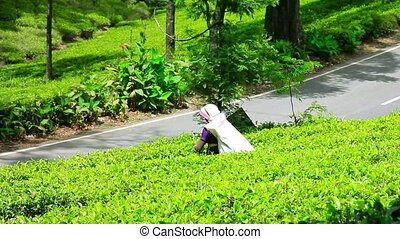 worker collecting tea in sri lanka