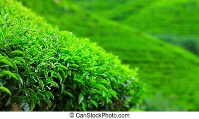 Sri Lanka tea garden mountains