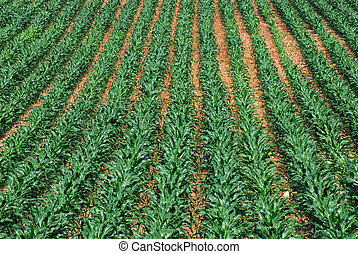 Row of Corn - Rows of young corn growing in a large field