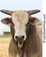 Rodeo Bull in a a pasture