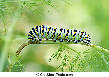 Black Swallowtail Caterpillar - A macro shot of a Black...