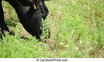 Cows on pasture 12