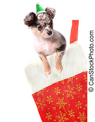 Chihuahua in christmas stocking