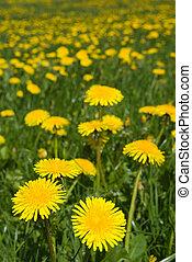 Dandelions field. - Dandelions field - spring flowers.