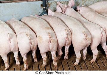 buttocks of young group piglet feeding - rear buttocks of...