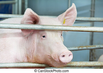 young pig in shed - One young piglet in shed at pig-breeding...