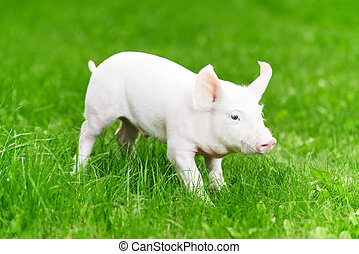 young piglet on green grass - One young piglet on green...
