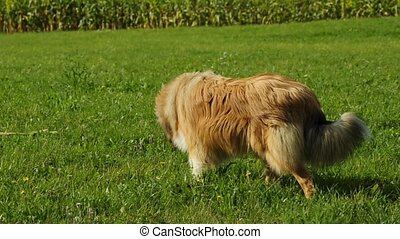 collie dog turns over in a meadow